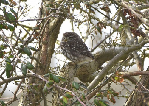 Little Owl at Hook in Warsash