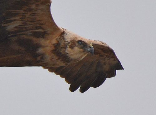 Close up of Marsh Harrier
