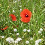 poppys in the fields