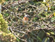 Redstart Bird UK