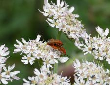 Bonking Beetle