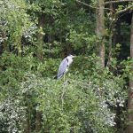 Heron in tree Conningbrook