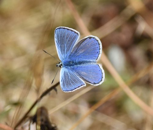 Common Blue Butterfly Dungeness