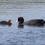 Mother and Juvenile Coot