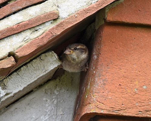 Female House Sparrow peeping from Nest