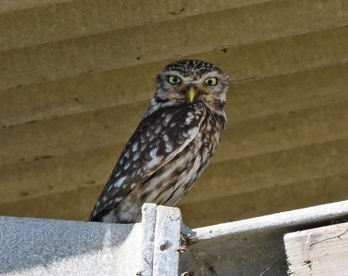 Little Owl at Scotney near Lydd
