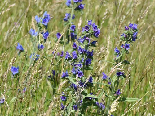 Vipers-Bugloss