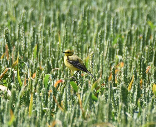 Yellow Wagtail at Scotney near Lydd