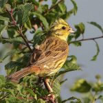 Yellowhammer in Hedgerow