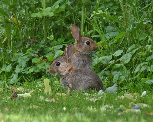 Young Rabbits in the garden