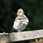 Juvenile Male Chaffinch