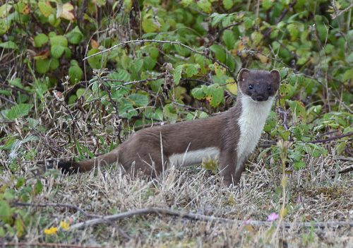 Stoat interested withcamera