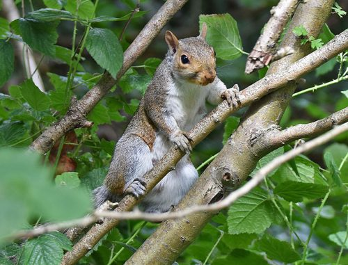 Young Squirrel in August