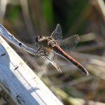Coomon Darter Dragon Fly