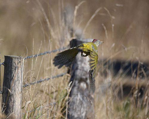 Green Woodpecker taking off