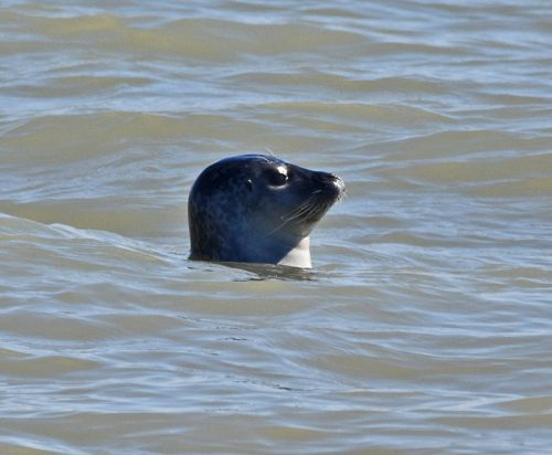 seal-rye-harbour