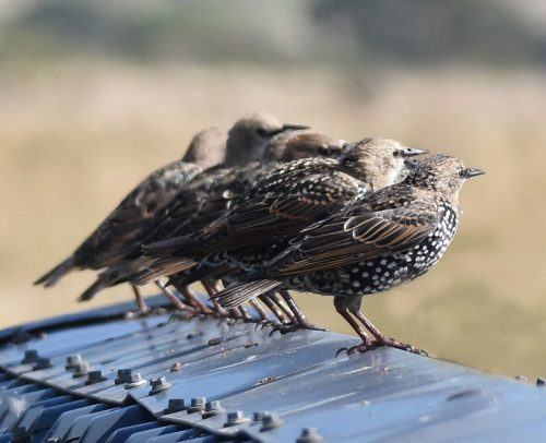 Starling gather on roof