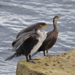 Cormorants on rocks at Portland