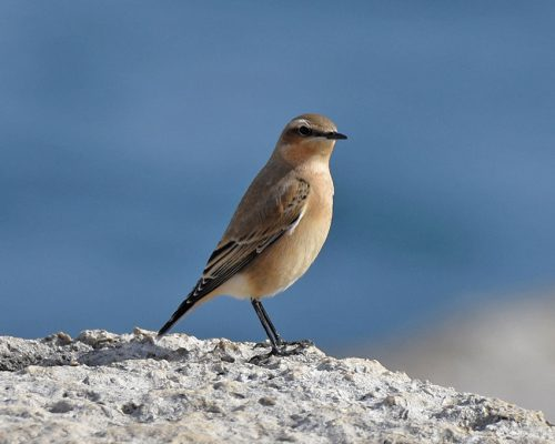 Wheatear on rocky coastline