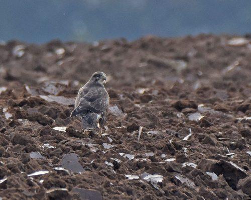 Buzzard resting in Field