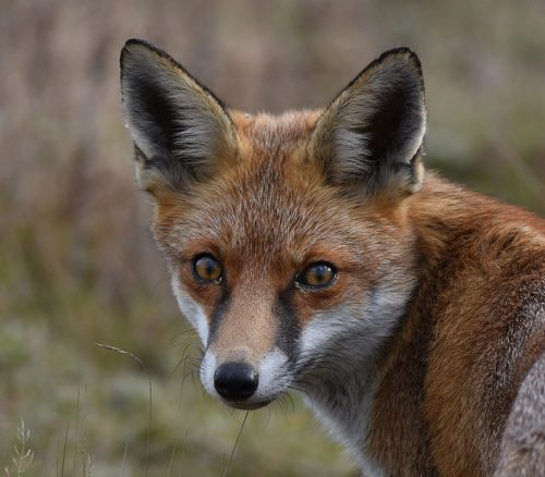 Close up of healthy Fox