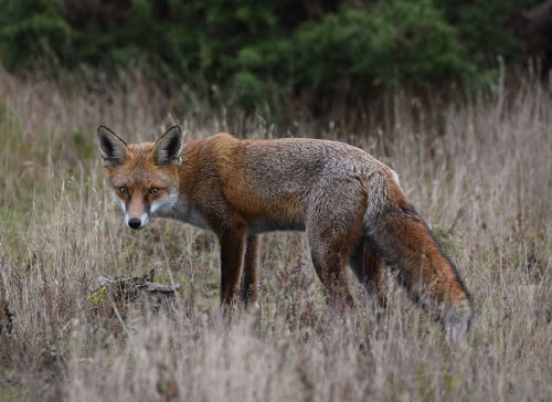 Fox at RSPB Dungeness