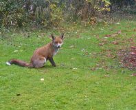 Fox in the front Garden