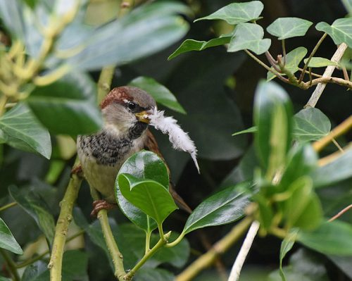 House Sparrow gathering bedding