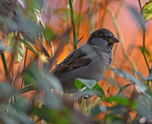 House Sparrow in Autumn