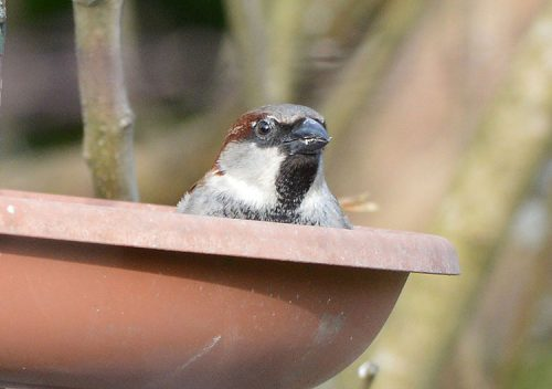 house-sparrow-peeping-over-feed-dish
