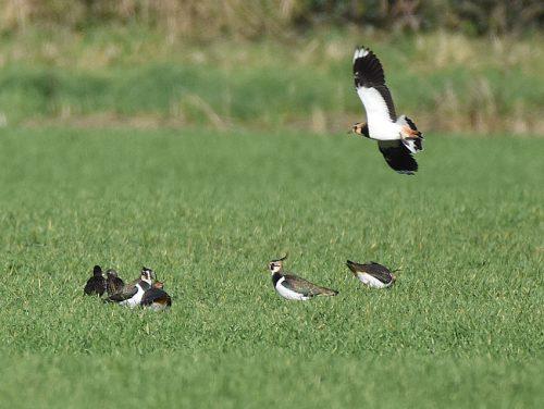 Lapwings on Field