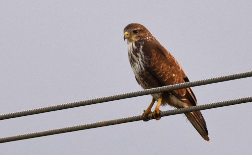 Male Common Buzzard