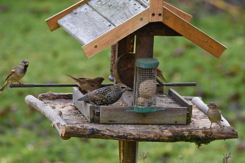 Starling and Sparrows on Bird Table