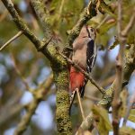 Woodpecker in Autumn