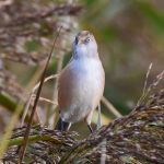 Female Bearded Tit on Reeds