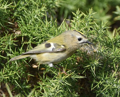 Goldcrest in bush Dungeness