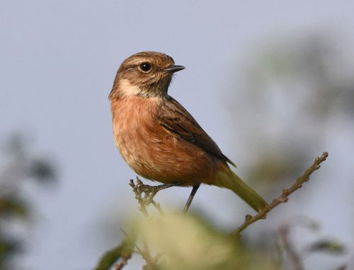 Stonechat at Dungeness