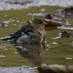 Young Chaffinch Bathing