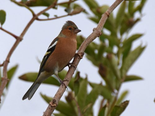 Young Male Chaffinch