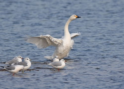 Bewick's Swans at Dungeness