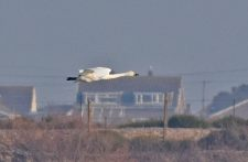 Bewick Swan flying