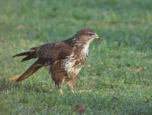 Common Buzzard Kennington Kent