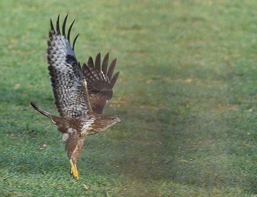 Common Buzzard taking off