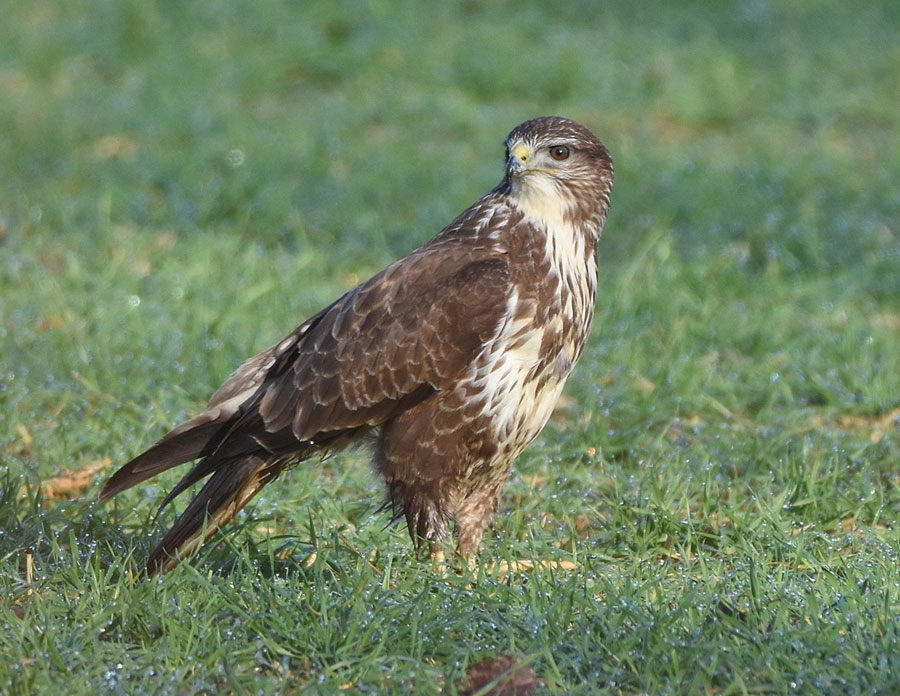common buzzard in the field wildlife diary