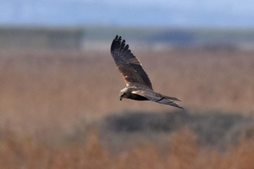 Low flying Marsh Harrier