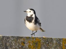 Pied Wagtail Dungeness Point
