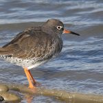 Redshank at Hamble