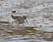 Redshank foraging on receding tide