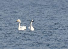 Two Bewick's Swans