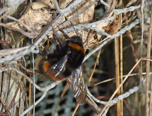 Bumble Bee in January